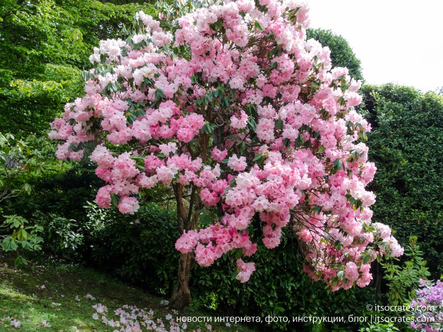 Вилла Карлотта - фотографии цветов на вилле Карлотта