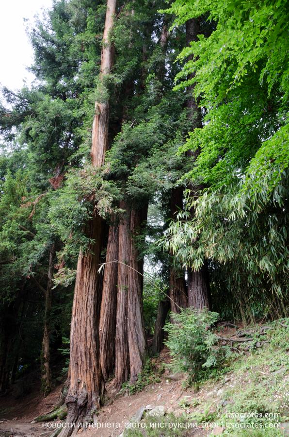 Вилла Карлотта - высоченные деревья на территории виллы на озере Комо